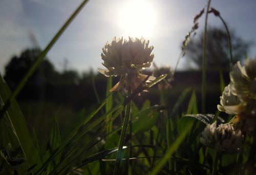 Clover sunflare