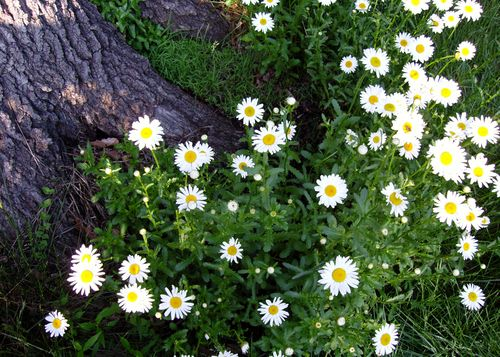 Backyard daisies may 12