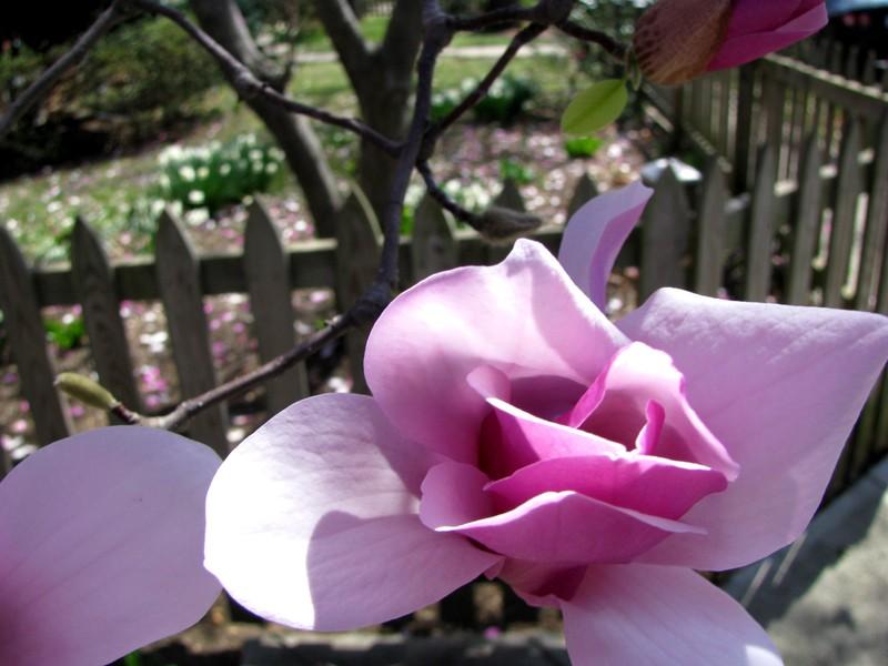 Magnolia_close